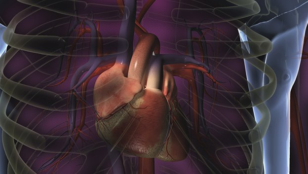3D illustration of heart inside a rib cage inside the human body
